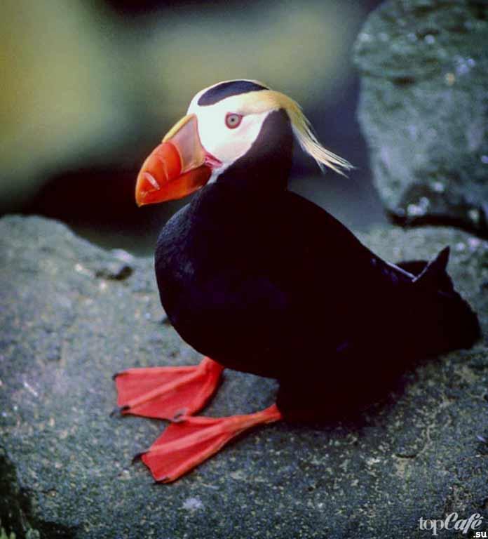 Топорок - одна из самых необычных птиц. CC0