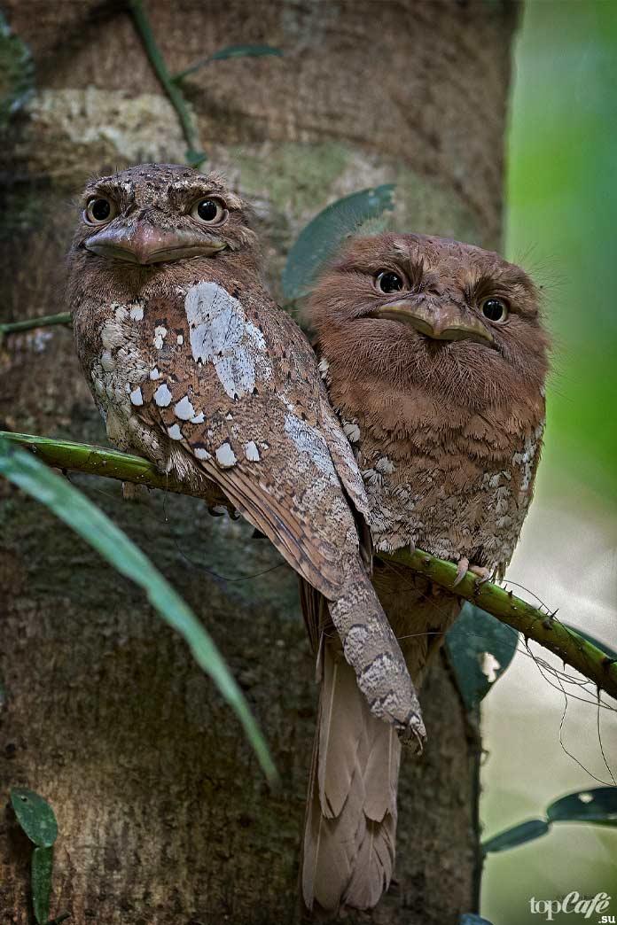 Цейлонский лягушкорот. CC0