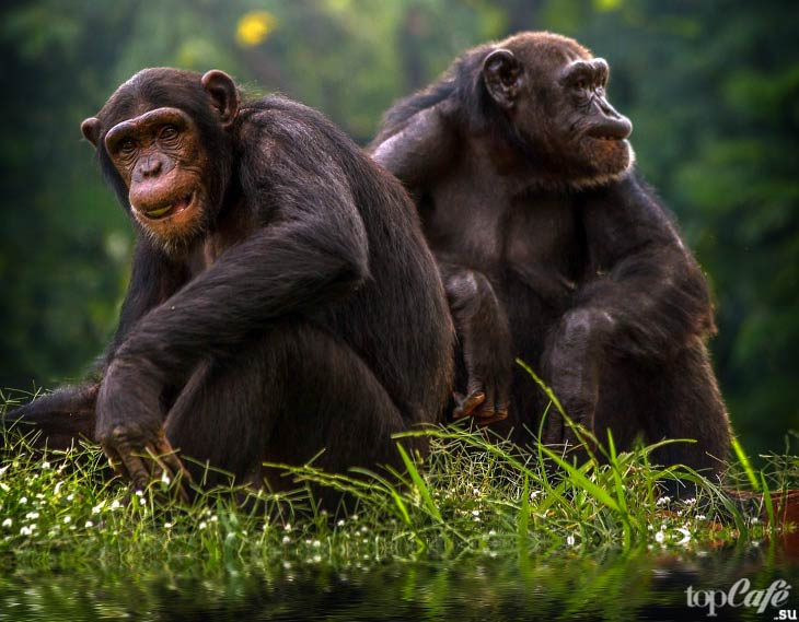 Шимпанзе бонобо. CC0