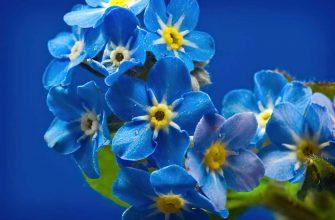 10 прекрасных синих цветов