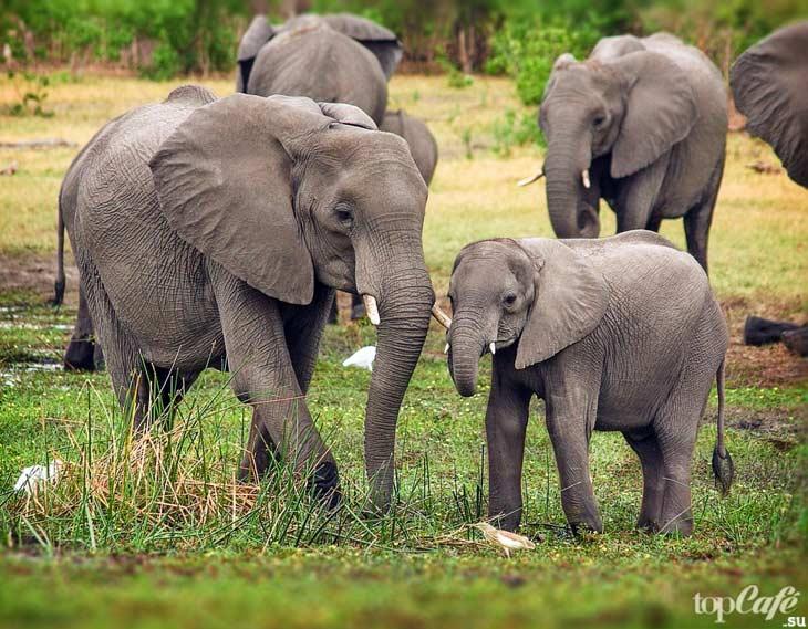 Слоны. CC0