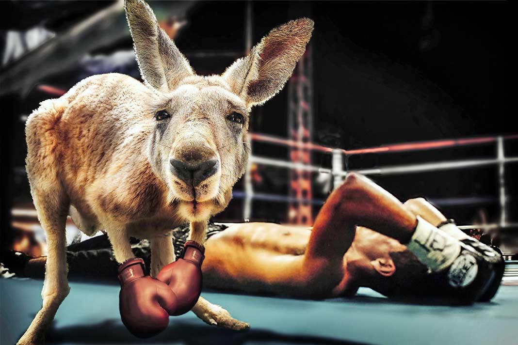 Факты о кенгуру. CC0