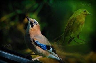 Певчие птицы. CC0